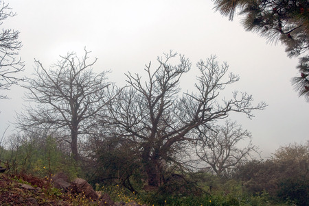 leafless: A shot of leafless trees in the fog Stock Photo