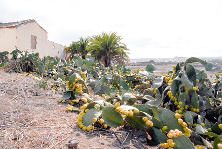 A shot of  a prickly pears plantation