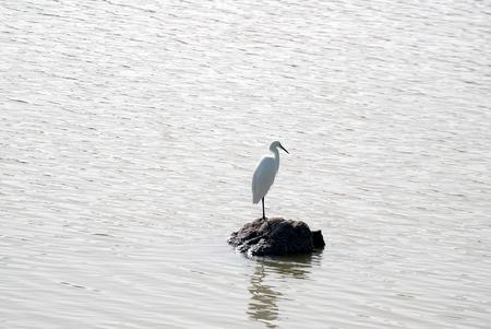grand canary: A shot of a great egret (Ardea alba) in the nature reserve and bird sanctuary Charca de Maspalomas (Maspalomas Pond) in Grand Canary island