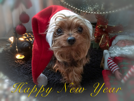 saint nick: A photo composition of a little yorkshire dog in a Christmas scene Stock Photo