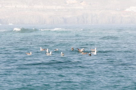 grand canary: A shot of a flock of seagulls swimming in the waters of Las Canteras Beach (Grand Canary, Canary islands)
