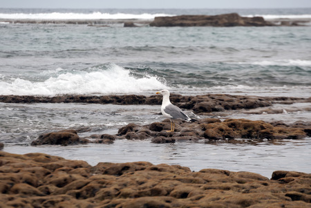 grand canary: A shot of a seagull walking in search of food on the reef of Las Canteras Beach (Grand Canary, Canary islands)