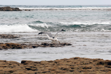 A shot of a seagull chasing a crab on the reef of Las Canteras Beach (Grand Canary, Canary islands)
