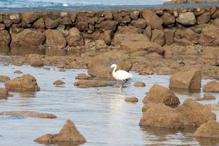 A shot of a little egret (Egretta garzetta) fishing between the rocks of a beach