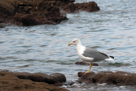 A shot of a seagull walking in search of food on the reef of Las Canteras Beach (Grand Canary, Canary islands)