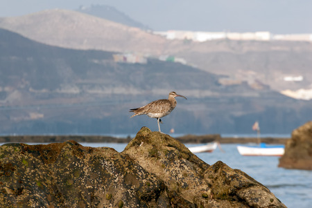 grand canary: A shot of a whimbrel  (Numenius phaeopus)  walking in search of food on the reef of Las Canteras Beach (Grand Canary, Canary islands) Stock Photo