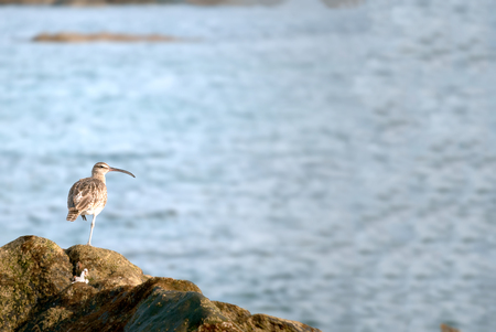 A shot of a whimbrel  (Numenius phaeopus)  walking in search of food on the reef of Las Canteras Beach (Grand Canary, Canary islands) Stock Photo