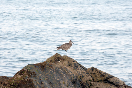 A shot of a whimbrel  (Numenius phaeopus)  walking in search of food on the reef of Las Canteras Beach (Grand Canary, Canary islands) Foto de archivo