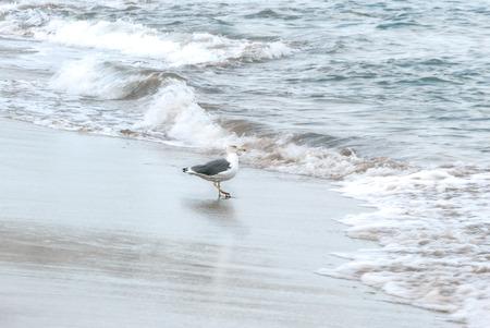 A shot of a seagull walking between waves in the shoreline of a beach