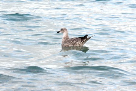 A shot of a seagull swimming in the sea