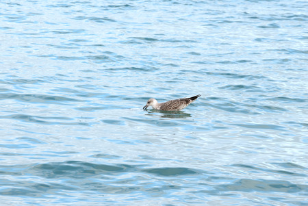 A shot of a seagull swimming and fishing in the sea
