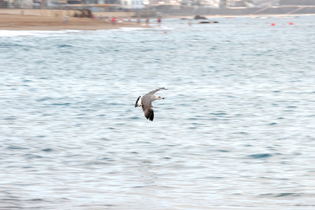 A shot of a seagull flying over the sea near of the shoreline of a beach