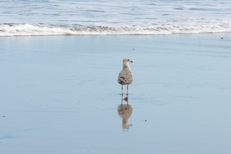 A shot of a seagull and its reflection on the water in the shoreline of a beach