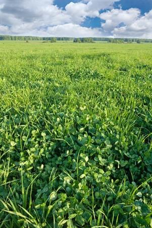 Spring clover field Stock Photo - 4555410