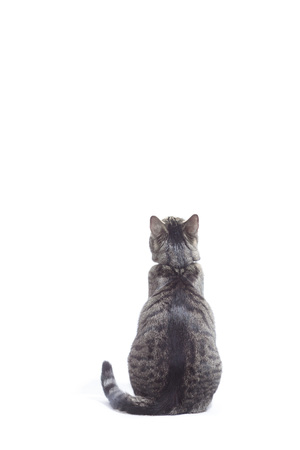 shot from behind: Cat looking up, shot from behind. White background almost isolated, some shadows left, studio shot.