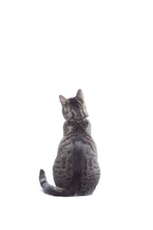 shot from behind: Cat looking in front, shot from behind. White background almost isolated, some shadows left, studio shot.