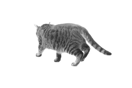 view from behind: Cat walking rear view from behind, isolated white background.