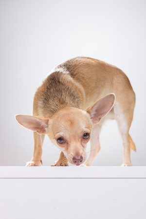 insecure: Insecure Chihuahua dog smelling, white background.