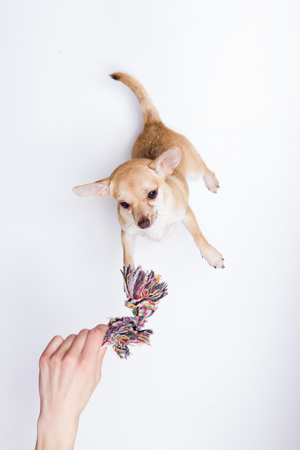 elevated view: Elevated view, hand playing Chihuahua dog toy rope