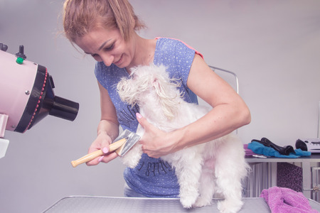 hairdryer: Happy hairdresser brushing comb dog hair fur, hairdryer blowing.