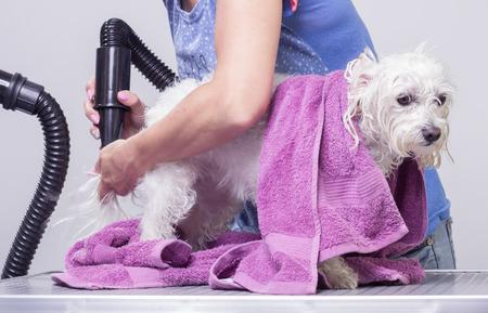 Dog hair dry, hairdresser Imagens