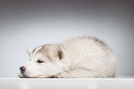 eyes open: husky puppy sleepy eyes open Stock Photo
