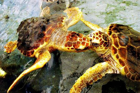 Sea Turtles dancing and kissing in the water photo