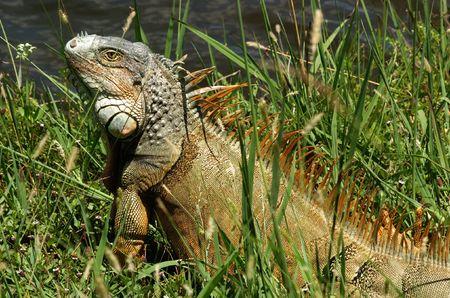 Iguana sun-bathing on the lake shore photo