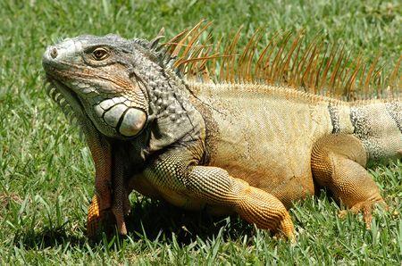 Iguana walking on the wild photo
