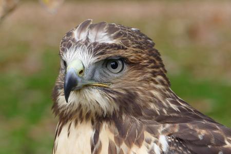 zopilote: Bosque (común) retrato halcón