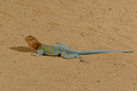 blue lizard Stock Photo