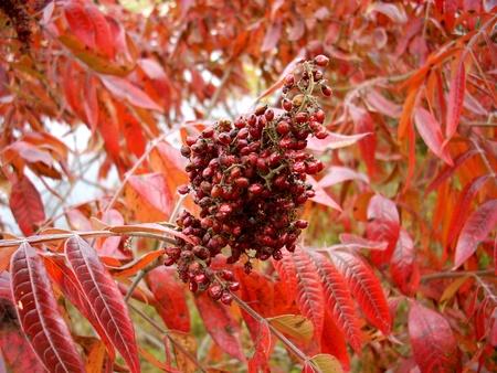 living things: sumac berries