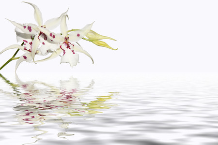 pink orchid: Inflorescence of white orchids with water reflection