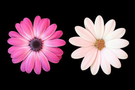 Pink and white daisy on black background photo