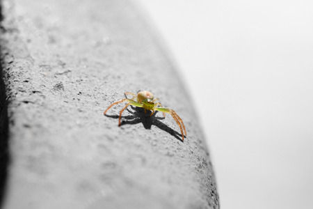 A tiny threat - a little green crab spider in threatening posture