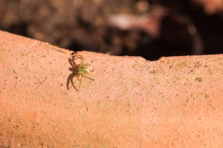 diaea: A tiny threat - a little green crab spider in threatening posture
