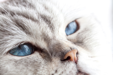 british shorthair: Sleepy blue eyes - a beautiful British Shorthair in Snooze