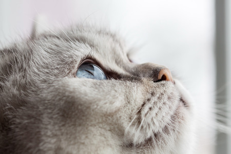 british shorthair: Sleepy blue eyes - a beautiful British Shorthair by Looking Up Stock Photo