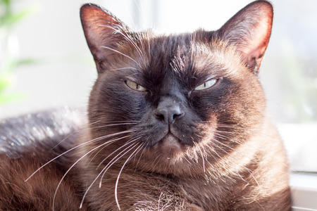 purring: Majestic - magnificent cat face while purring