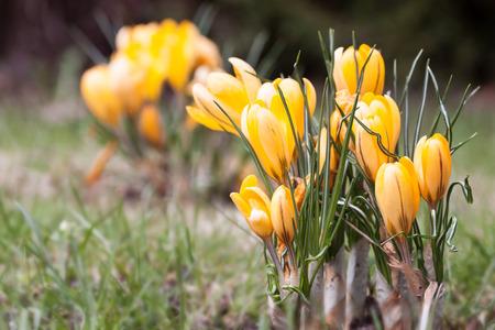 crocuses: Spring fever - Islands of yellow crocuses Stock Photo