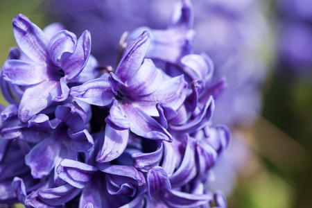 detailed view: Detailed view of a purple hyacinth
