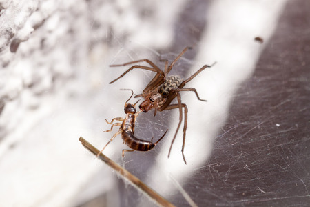 philodromus: Fighting a running spider with a catchy tune