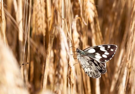 champ de mais: papillon dans un champ de maïs