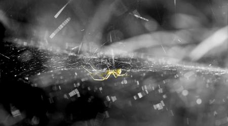 philodromus: A running spider in wait