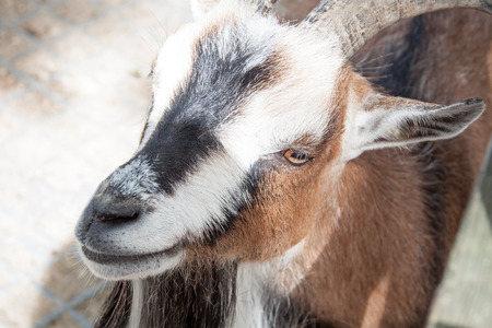 black bitch: A pygmy goat begging