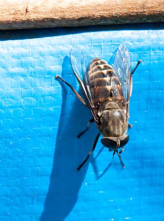'compound eye': Fly brake horsefly - bloodsucker close Stock Photo