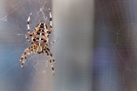 orb weaver: Spider spinning - a magnificent cross spider in its web