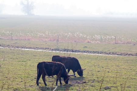cow teeth: Peaceful Evening - aurochs grazing in a misty landscape Stock Photo
