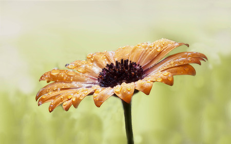 focus stacking: wets an orange daisy with water droplets - bloom after rain