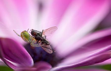 cucurbitina: Eat or be eaten - a cucumber green spider eats a fly